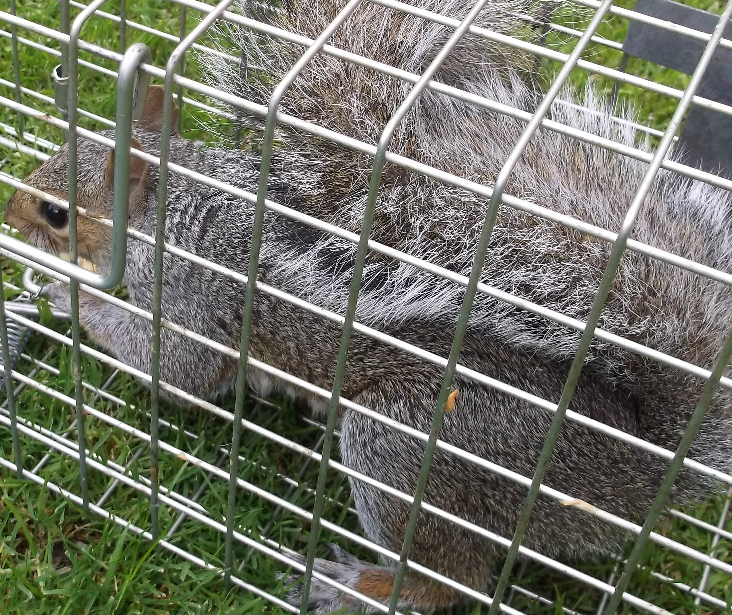 Calls Coming In For Grey Squirrels Six Removed From